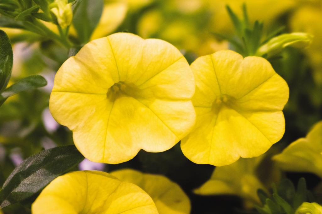Calibrachoa Aloha Kona Yellow