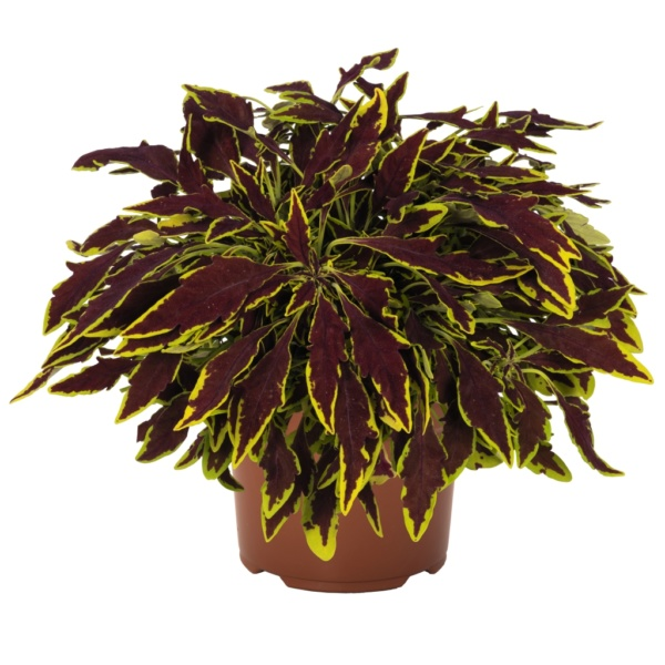 Coleus Stained Glassworks Le Freak