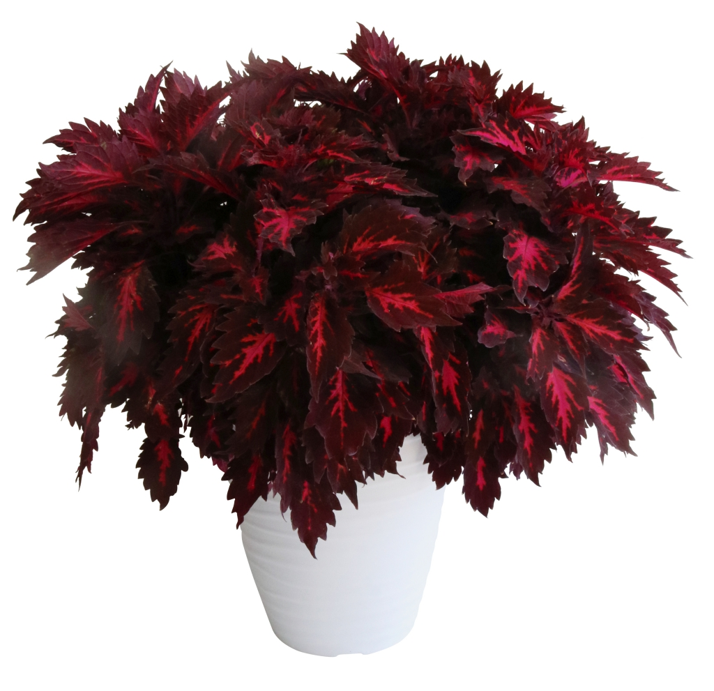 Coleus Stained Glassworks Royalty