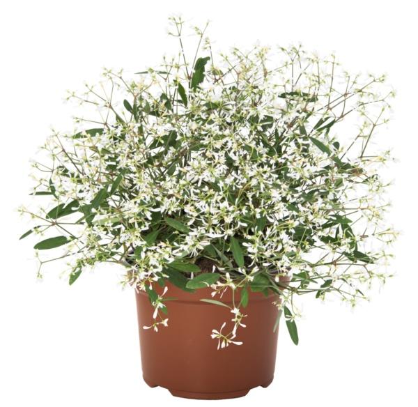Euphorbia Chamaesyce Star Dust Clear White