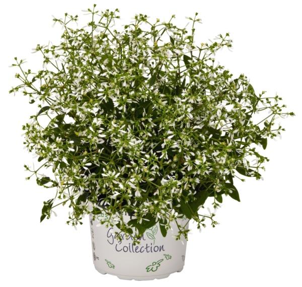 Euphorbia Chamaesyce Star Dust White Sparkle