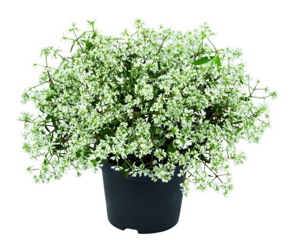 Euphorbia hypericifolia Euphoria® White