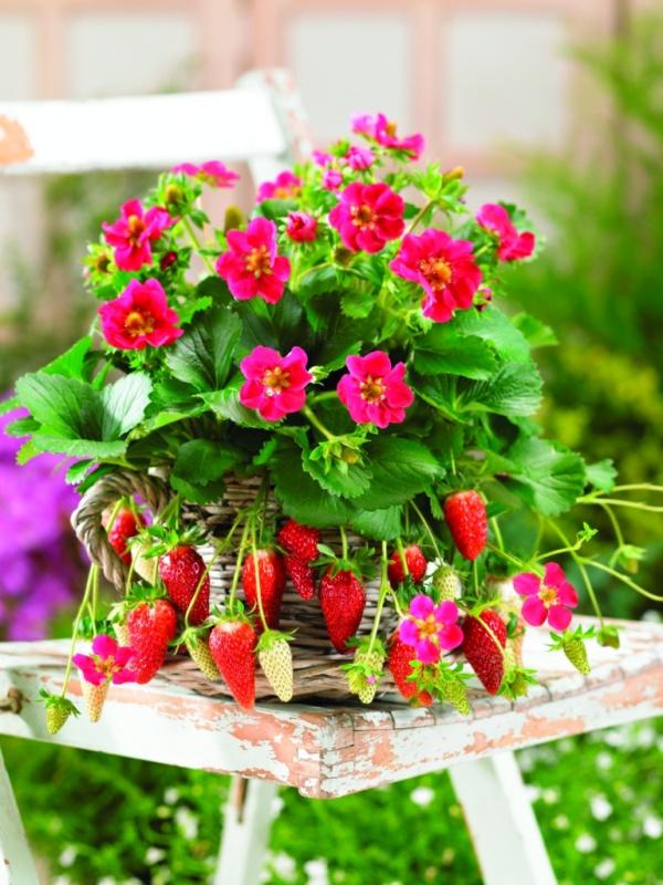 Jahoda záhradná Tristan F1 Deep Rose