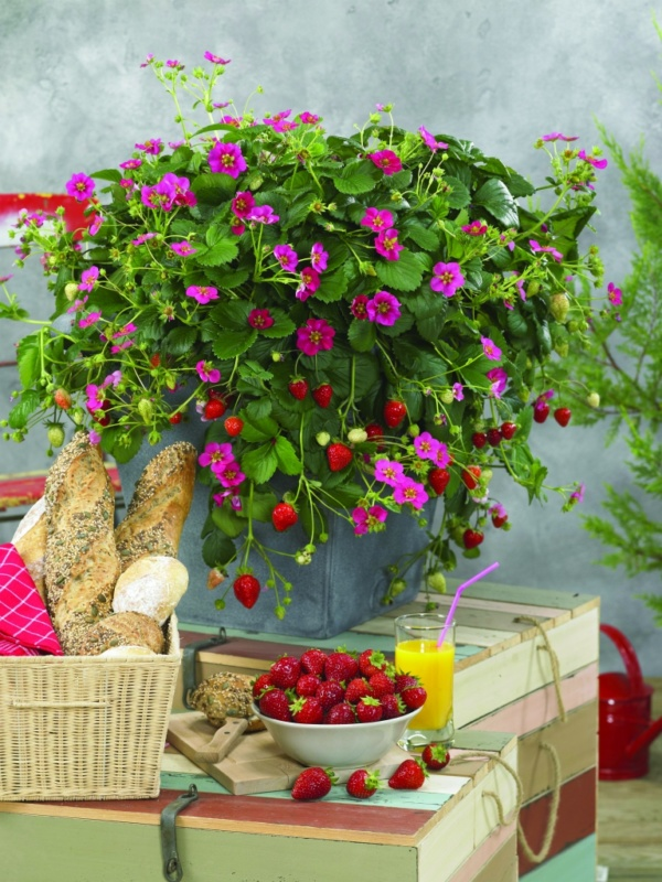 Jahoda záhradná Toscana F1 Deep Rose