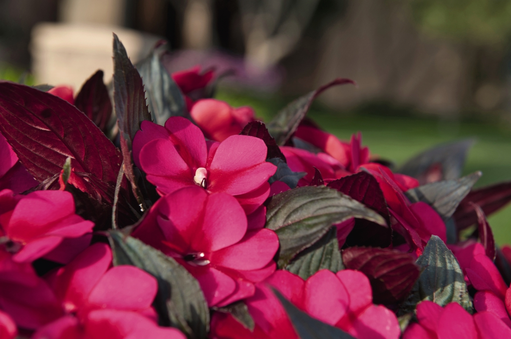 Impatiens New Guinea Petticoat Purple Star 2021