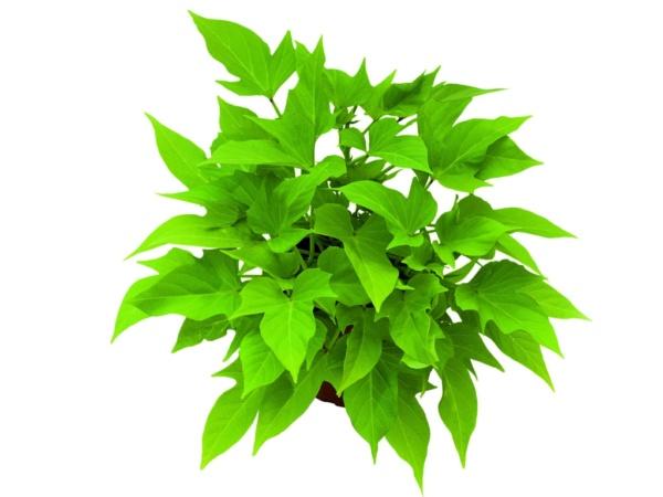 Ipomoea Sweet Caroline Light Green