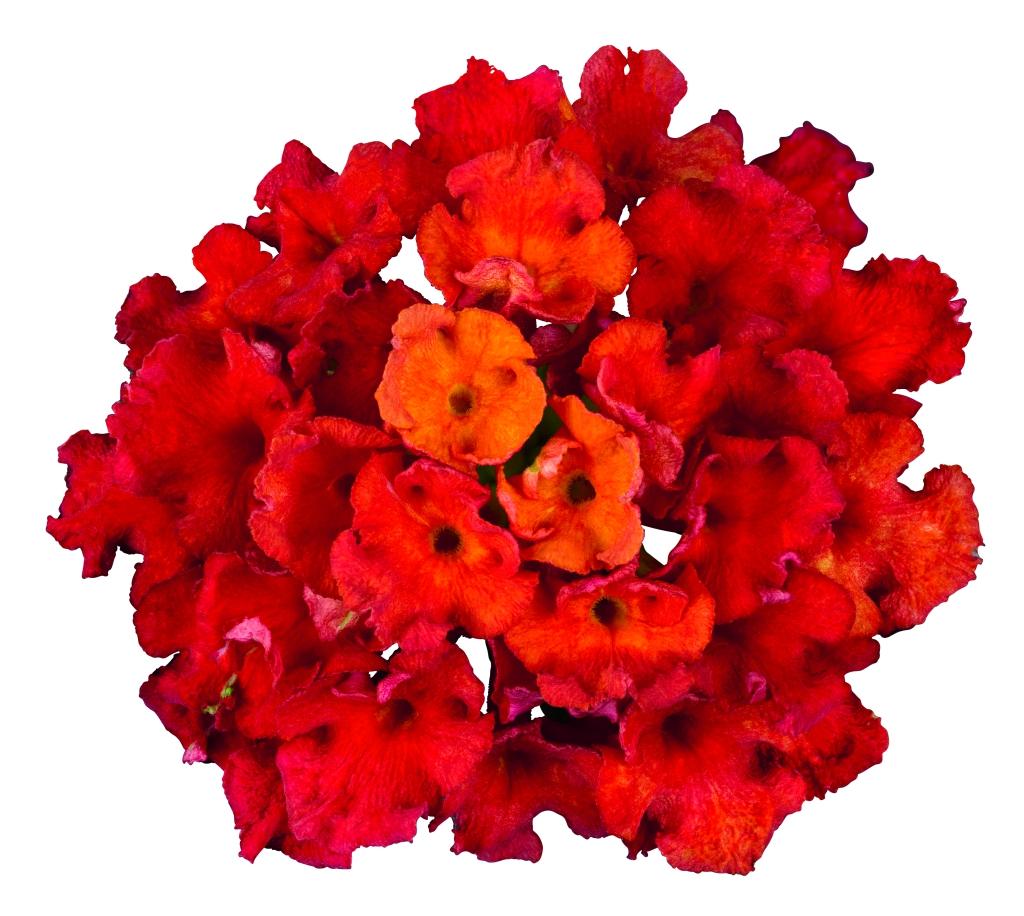 Lantana camara Bloomify ™ Red