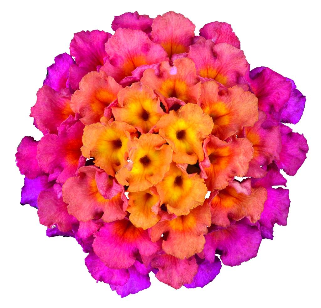 Lantana camara Bloomify ™ Rose