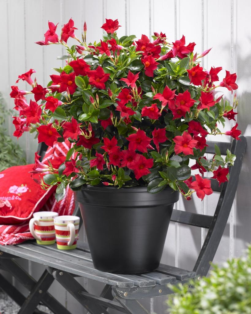 Mandevilla Sanderi Sundaville® Classic Red