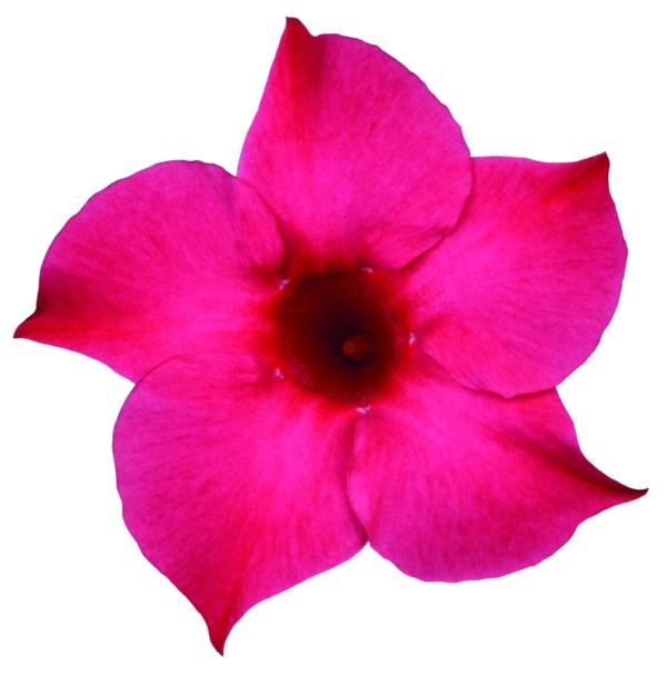 Mandevilla Sanderi Sundaville® Pink