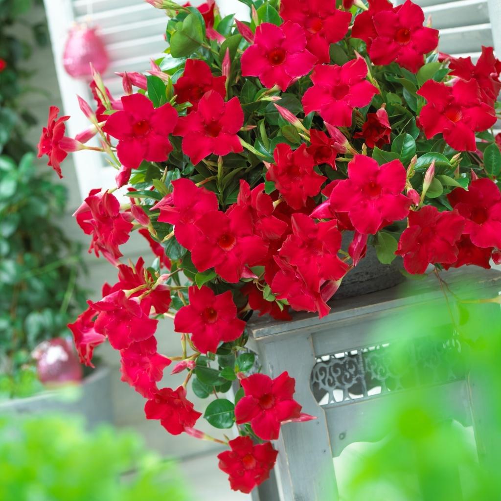 Mandevilla Sanderi Sundaville® Velvet Red