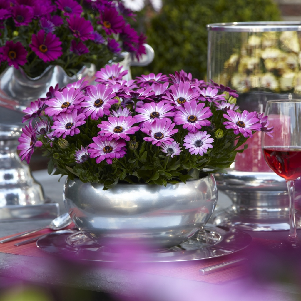 Osteospermum Margarita Pink Flair 2020