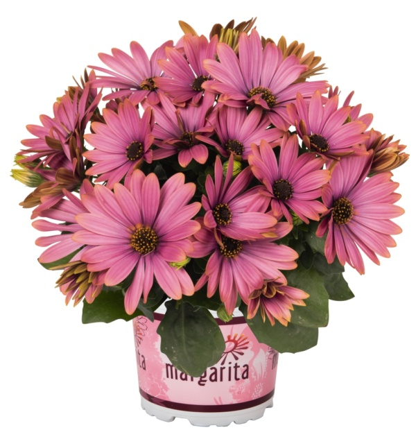 Osteospermum Margarita Pink Secret