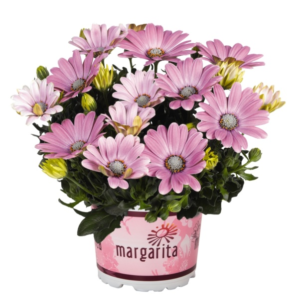 Osteospermum Margarita Soft Pink