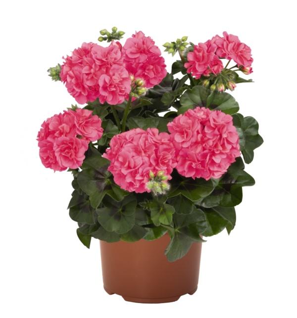 Pelargonium Peltatum Great Balls of Fire Pink