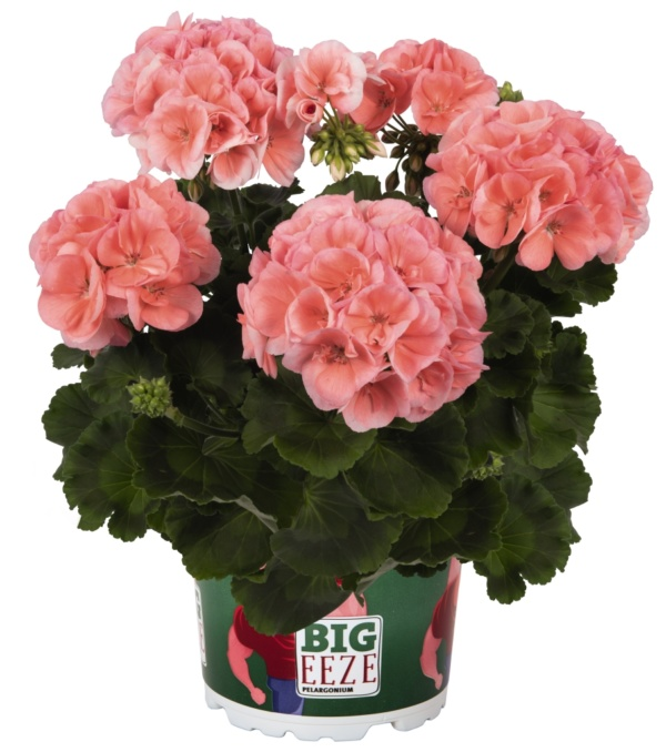 Pelargonium Zonale Big Eeze Salmon
