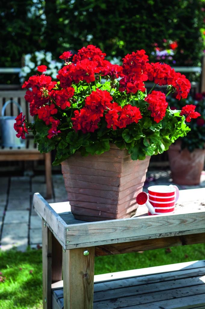 Pelargonium Zonale Big Eeze Red
