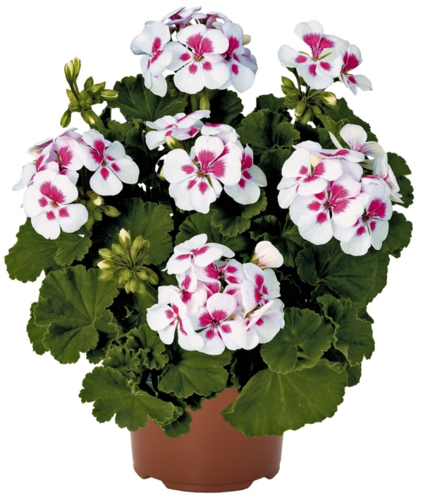 Pelargonium Zonale Candy®Idols White Parfait