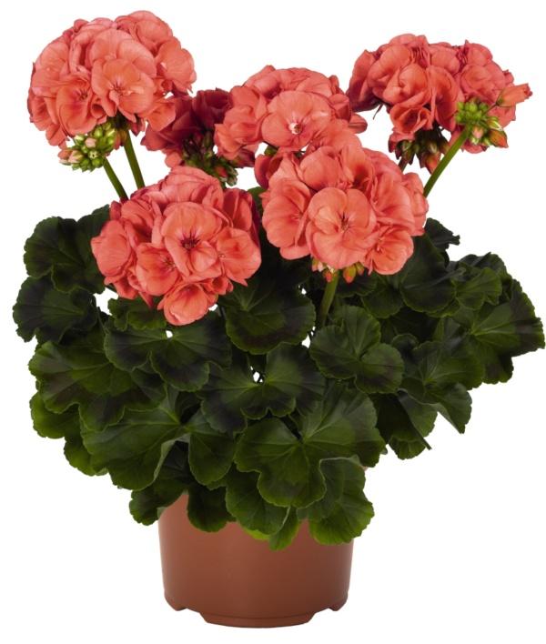 Pelargonium Zonale Survivor Idols Coral