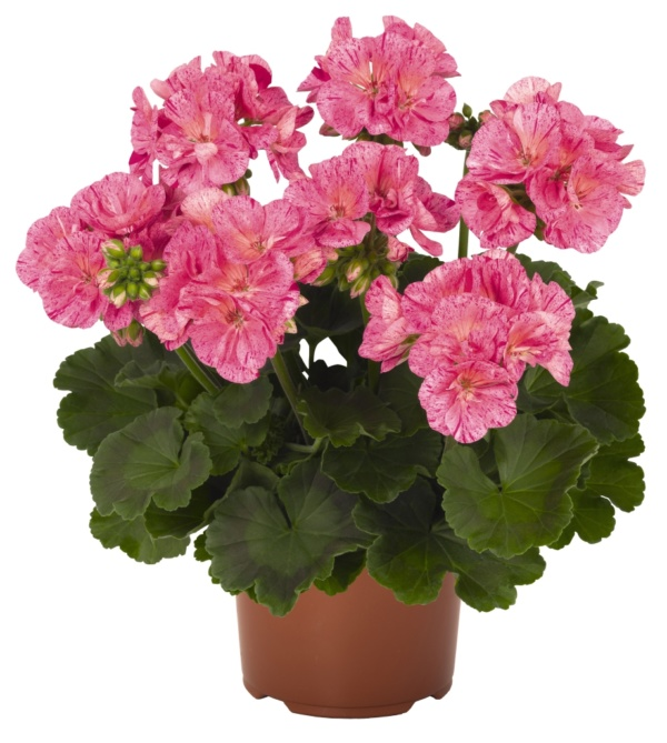Pelargonium Zonale Survivor Idols Pink Batik