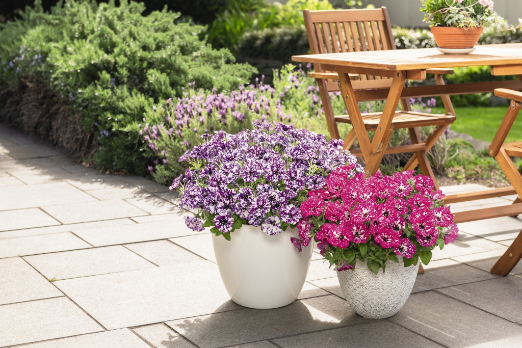 Petunia Surprise Sparkling Purple
