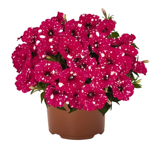 Petunia Surprise Sparkling Red