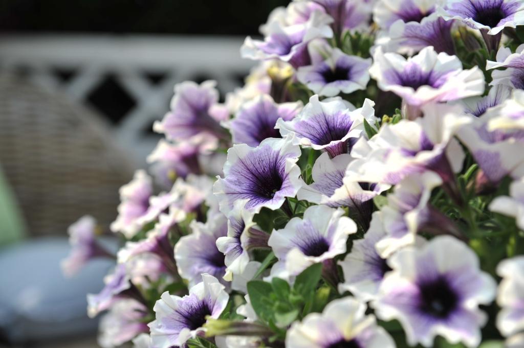 Petunia Sweetunia Purple Spotlight