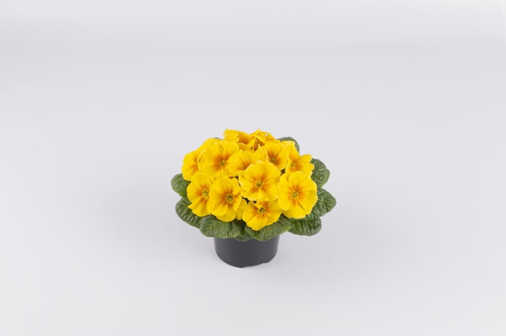 Primula vulgaris Esna® F1 Yellow