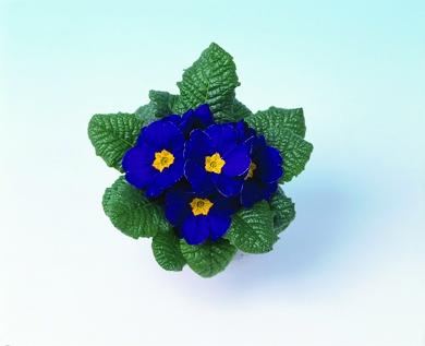 Primula vulgaris Luxor® F1 Blue