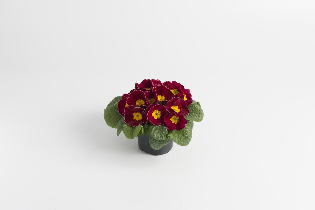Primula vulgaris Luxor® F1 Burgundy