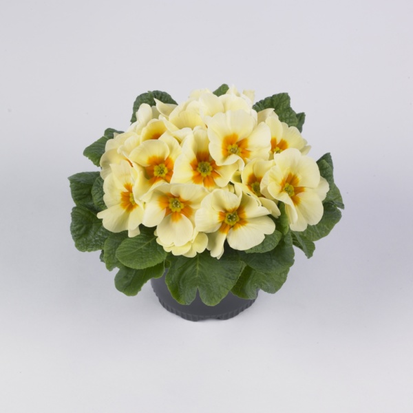 Primula vulgaris Luxor® F1 Cream Yellow