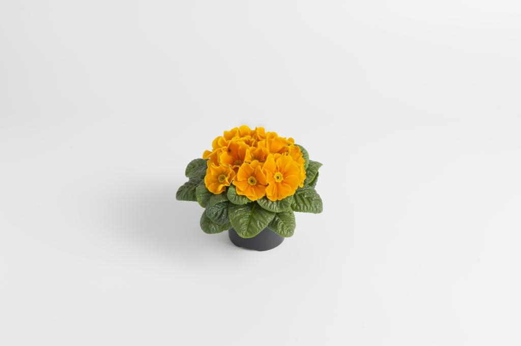 Primula vulgaris Luxor® F1 Orange