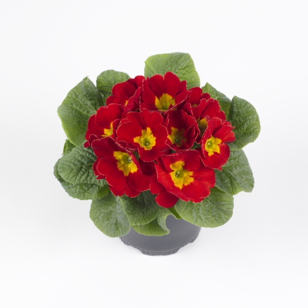 Primula vulgaris Luxor® F1 Red