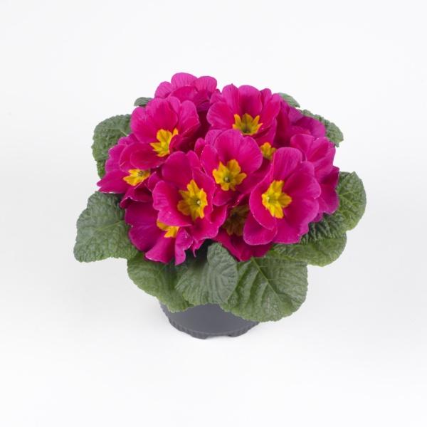 Primula vulgaris Luxor® F1 Rose