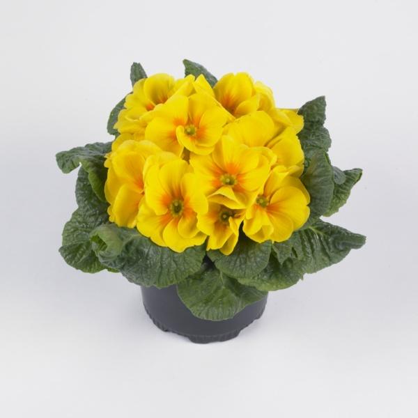 Primula vulgaris Luxor® F1 Yellow
