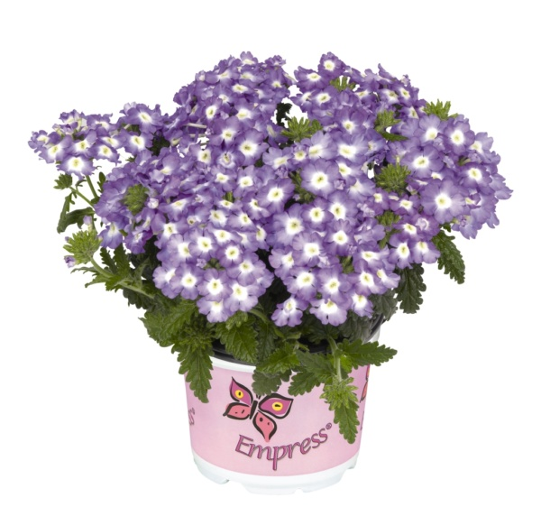 Verbena Empress Flair Blue Charme