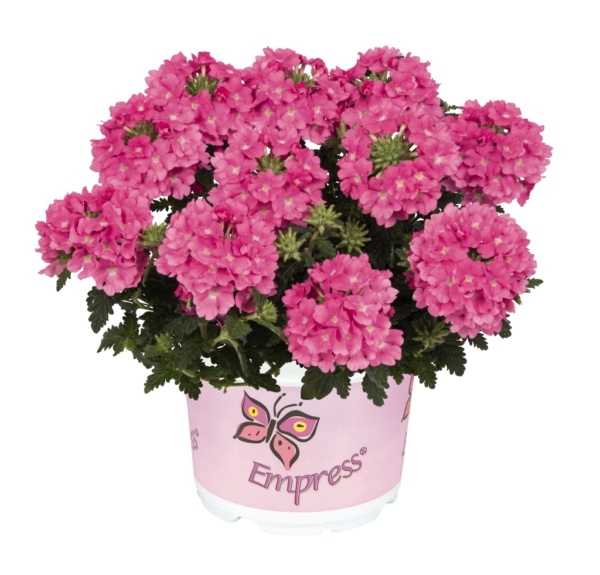 Verbena Empress Flair Pink