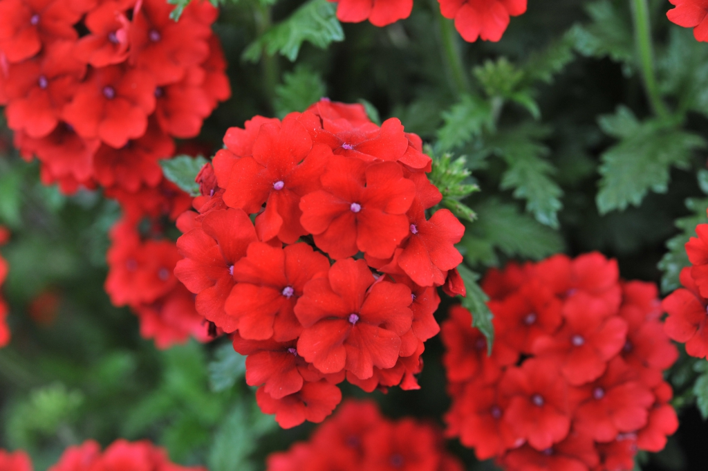 Verbena Empress Flair Red