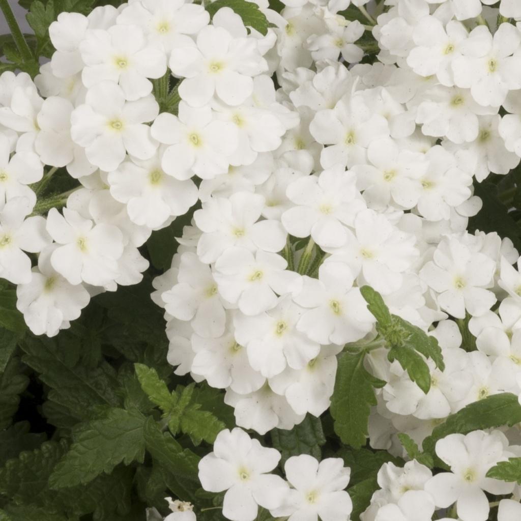 Verbena Empress Flair White