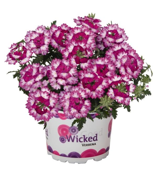 Verbena Wicked Dark Pink