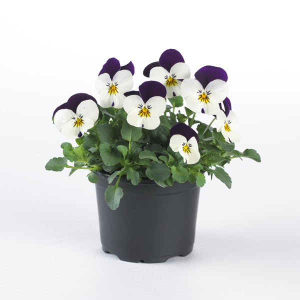 Viola cornuta EVO mini F1/ Sorbet XP F1 White Purple Jump up