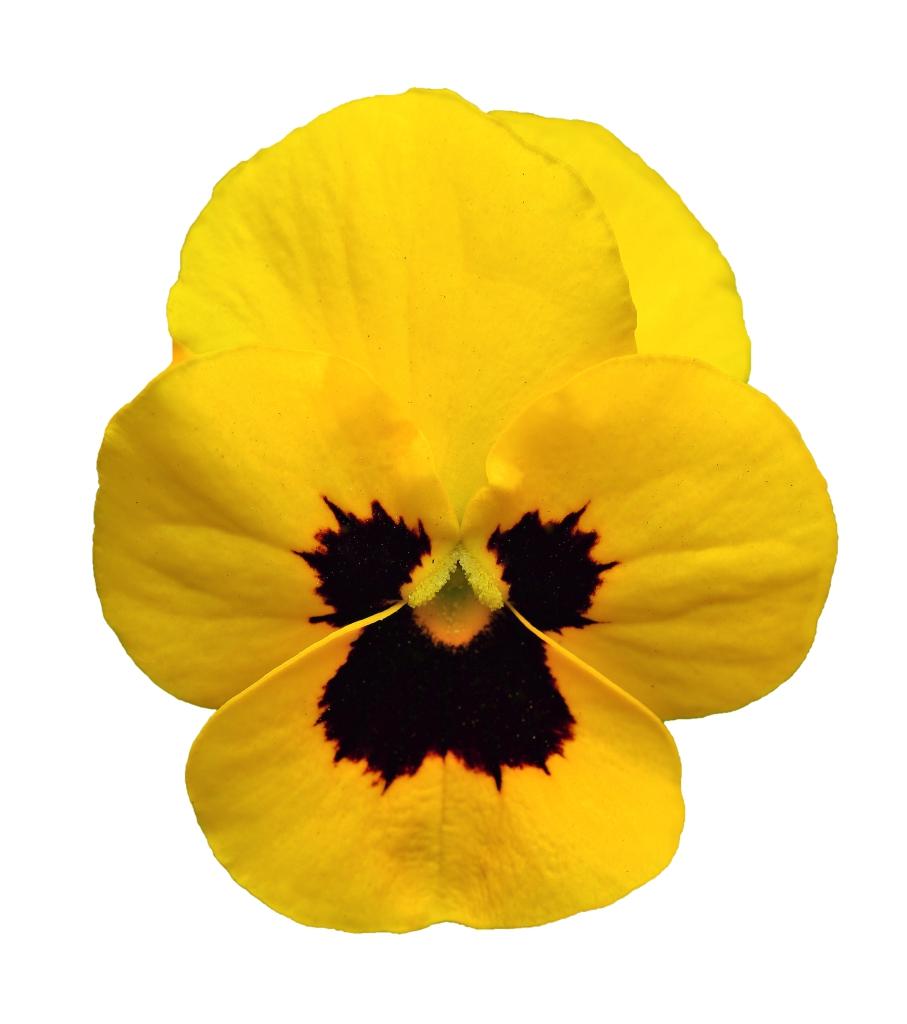 Viola cornuta EVO mini F1/ Sorbet XP F1 Yellow Blotch