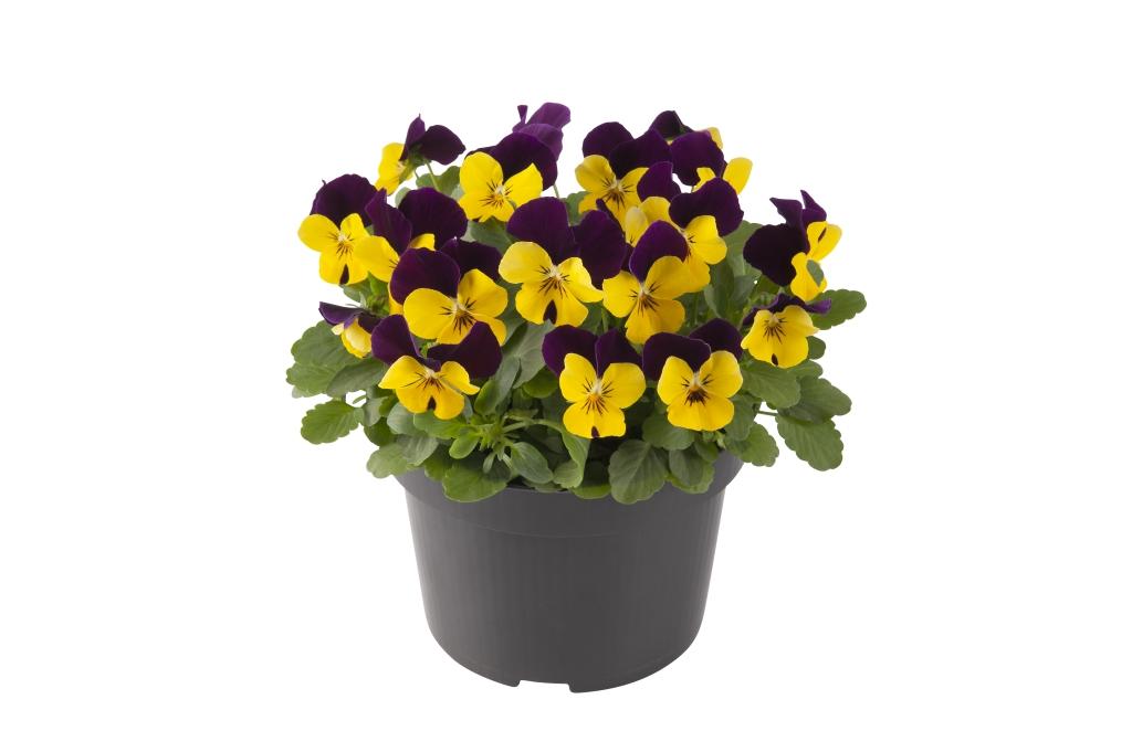 Viola cornuta EVO mini F1/ Sorbet XP F1 Yellow Purple Jump up