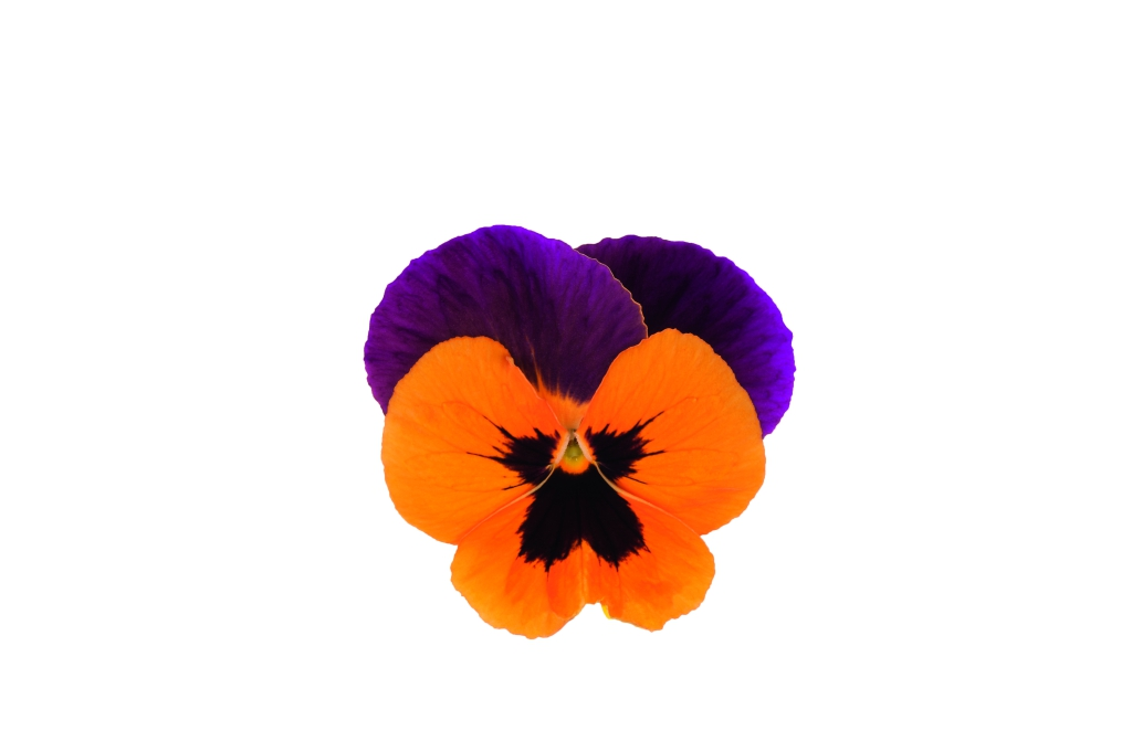 Viola wittrockiana EVO F1 Orange Duet
