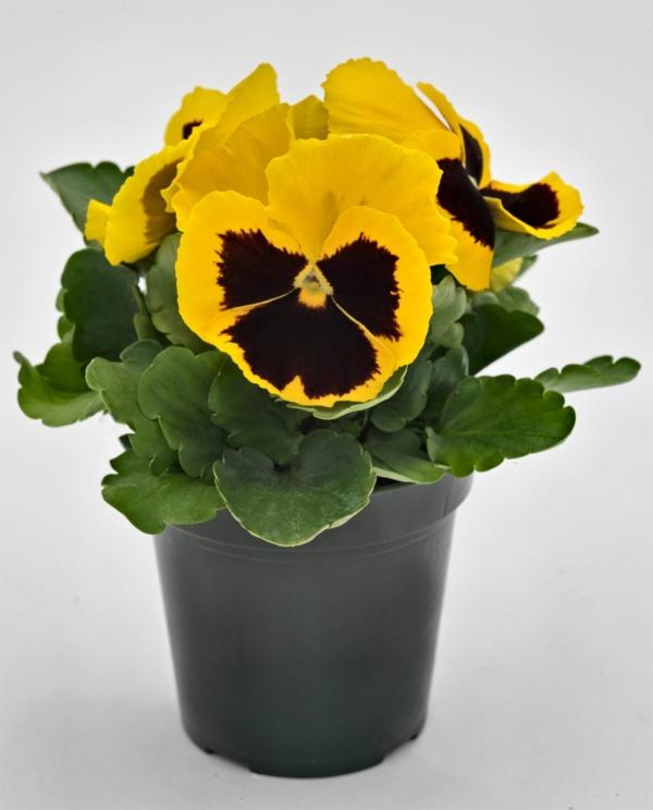 Viola wittrockiana EVO F1 Yellow Blotch
