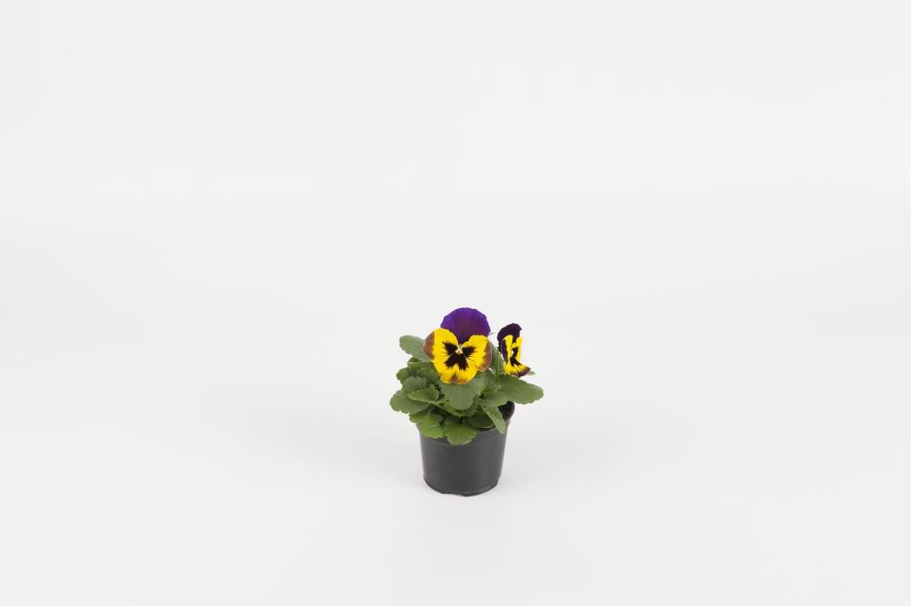 Viola wittrockiana EVO F1 Yellow Duet
