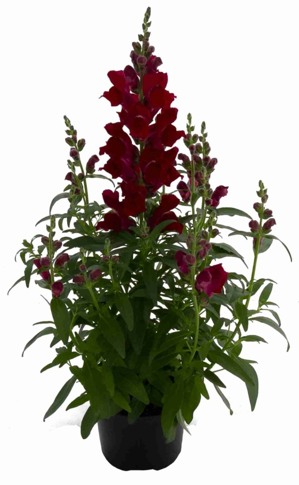 Antirrhinum majus Candy Tops Red