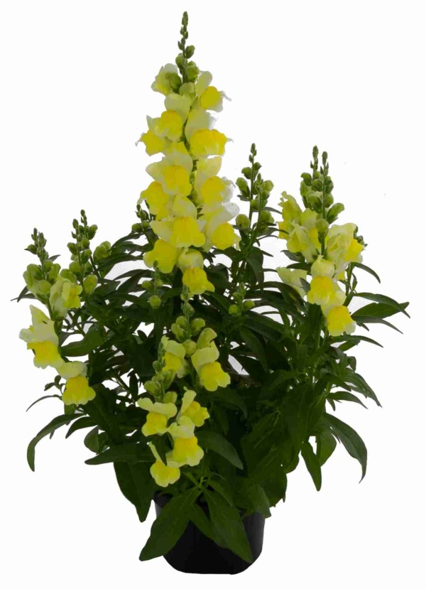 Antirrhinum majus Candy Tops Yellow