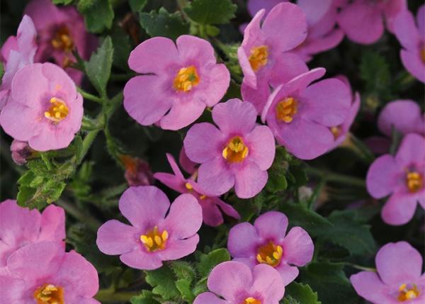 Bacopa Sutera Grandiflora® Falls Summer Pink