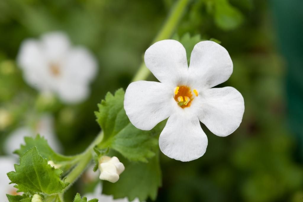 Bacopa Sutera diffusus Scopia® Dynamic White